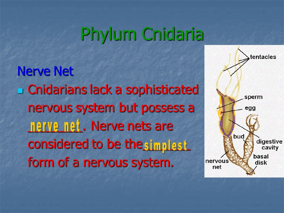 Phylum Cnidaria Nerve Net Cnidarians lack a sophisticated Cnidarians lack a sophisticated nervous system but possess a ________. Nerve nets are consid