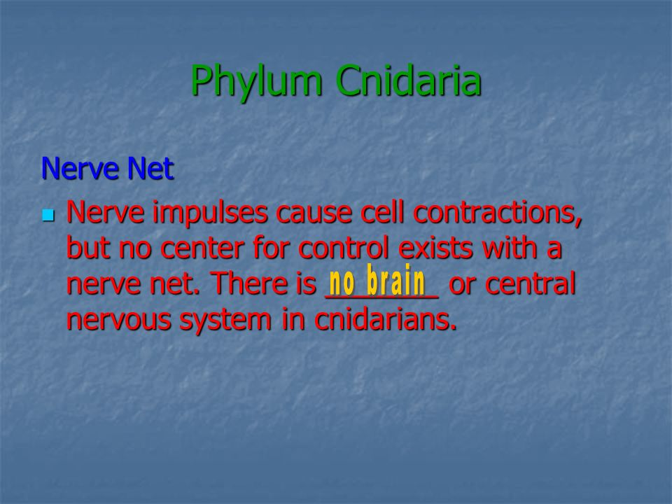 Phylum Cnidaria Nerve Net Nerve impulses cause cell contractions, but no center for control exists with a nerve net. There is _______ or central nervo
