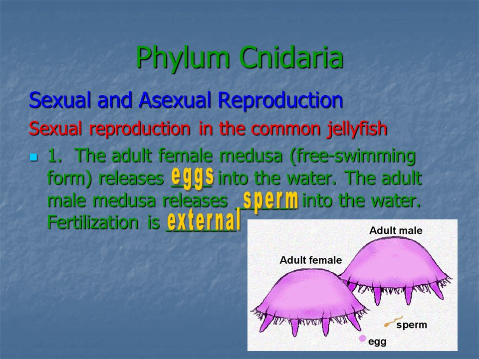 Phylum Cnidaria Sexual and Asexual Reproduction 2.