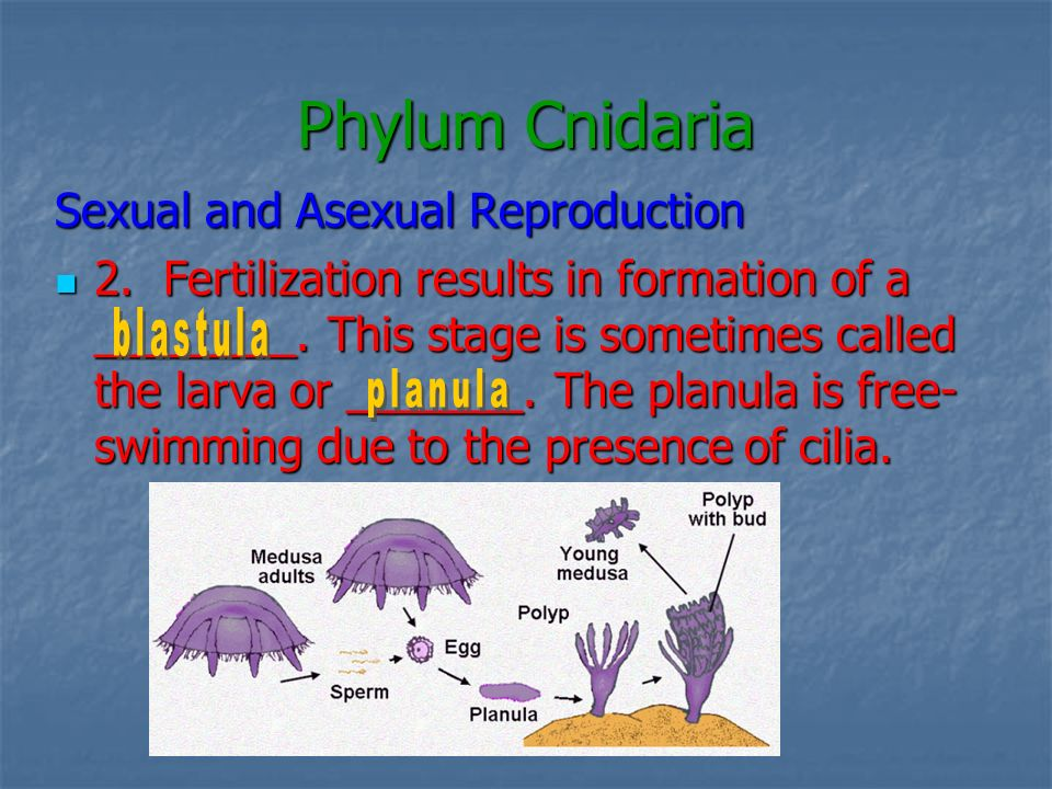 Phylum Cnidaria Sexual and Asexual Reproduction 3.