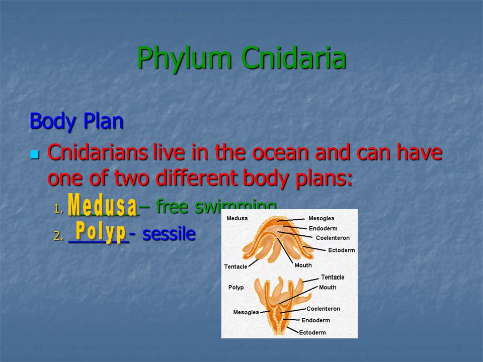 Phylum Cnidaria Body Plan Cnidarians live in the ocean and can have one of two different body plans: Cnidarians live in the ocean and can have one of