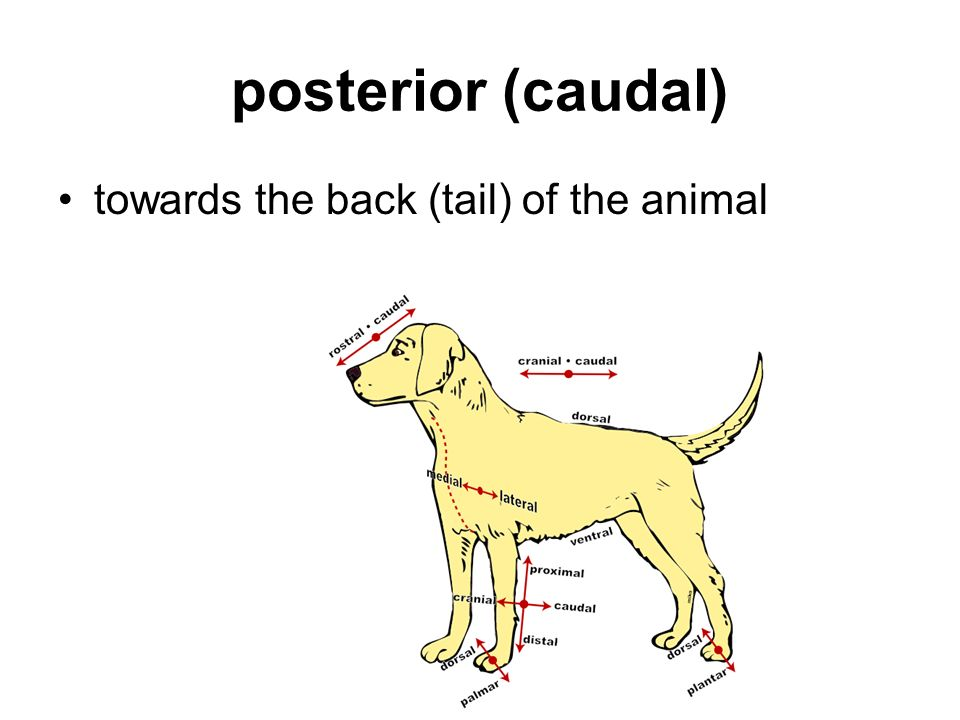 posterior (caudal) towards the back (tail) of the animal