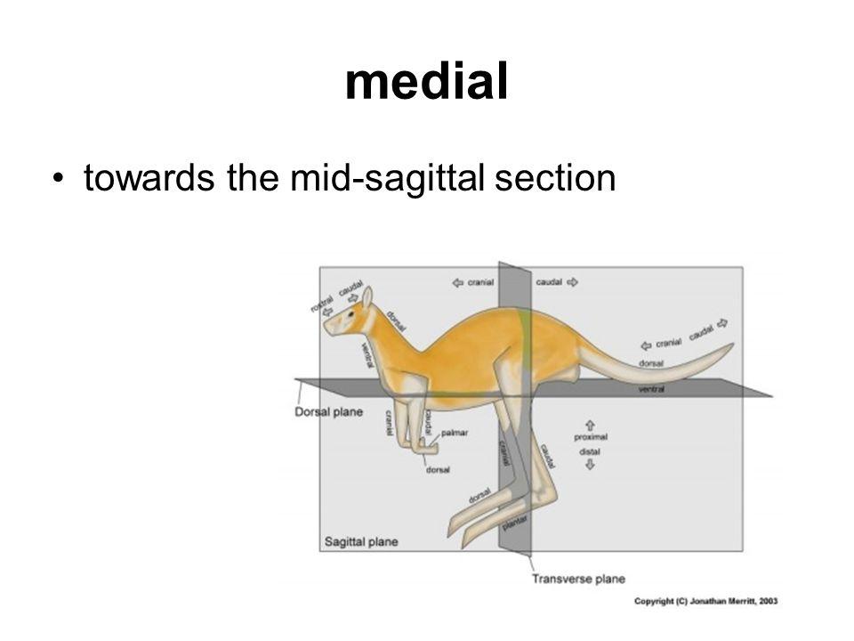 medial towards the mid-sagittal section