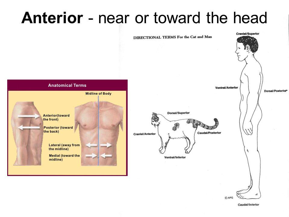 Anterior - near or toward the head