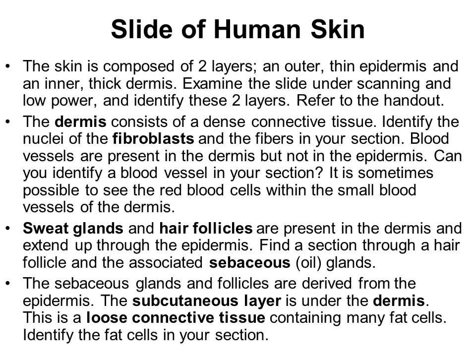 Slide of Human Skin The skin is composed of 2 layers; an outer, thin epidermis and an inner, thick dermis. Examine the slide under scanning and low po