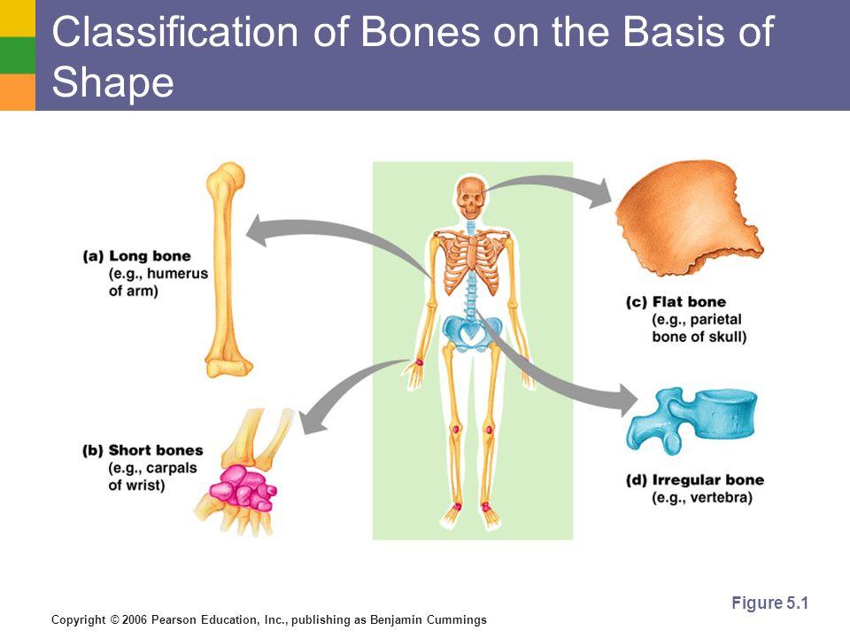 Copyright © 2006 Pearson Education, Inc., publishing as Benjamin Cummings Classification of Bones on the Basis of Shape Figure 5.1