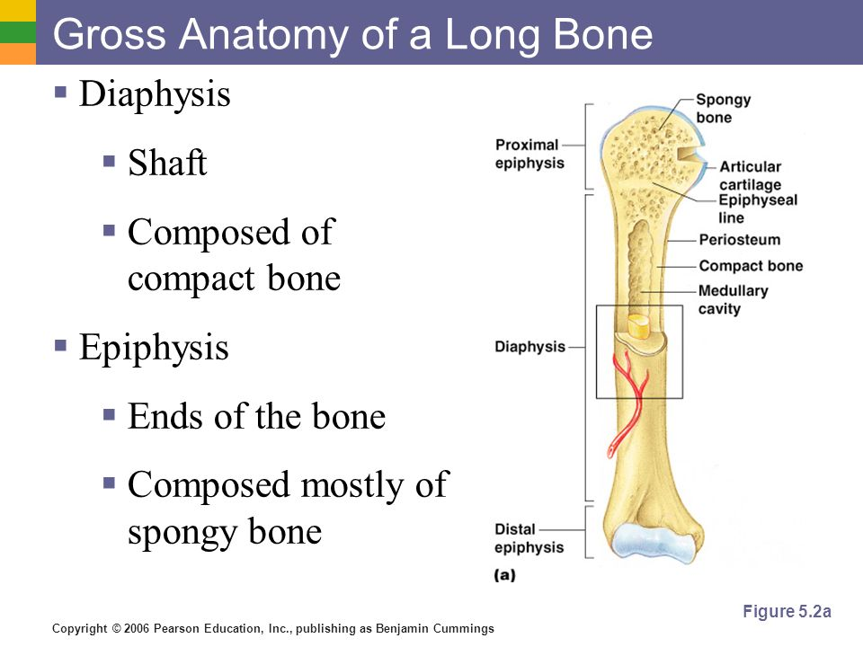 Copyright © 2006 Pearson Education, Inc., publishing as Benjamin Cummings Gross Anatomy of a Long Bone Diaphysis Shaft Composed of compact bone Epiphy