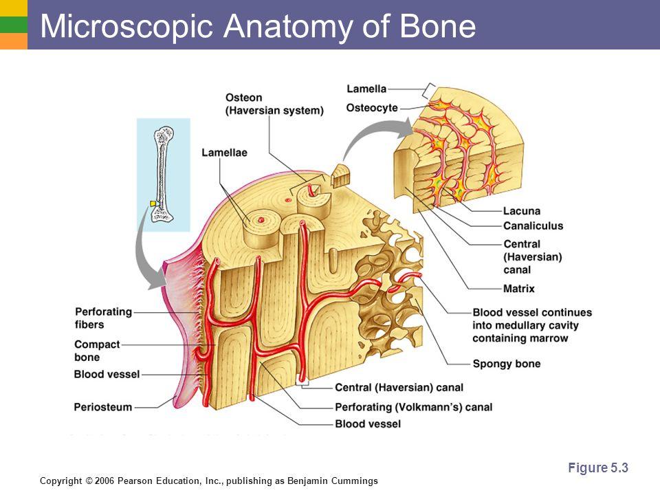 Copyright © 2006 Pearson Education, Inc., publishing as Benjamin Cummings Microscopic Anatomy of Bone Figure 5.3