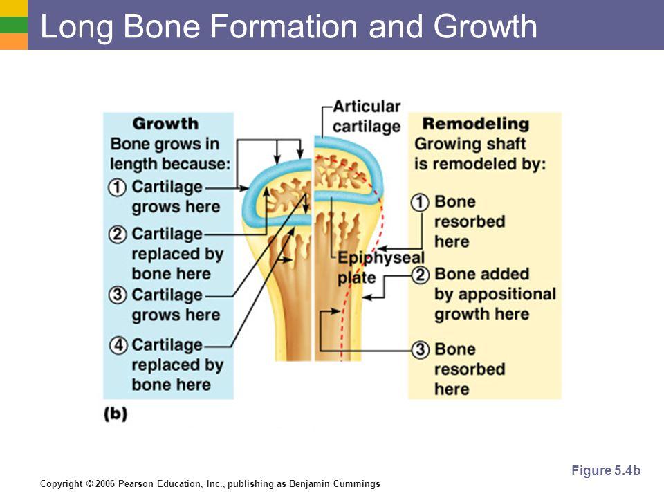 Copyright © 2006 Pearson Education, Inc., publishing as Benjamin Cummings Long Bone Formation and Growth Figure 5.4b