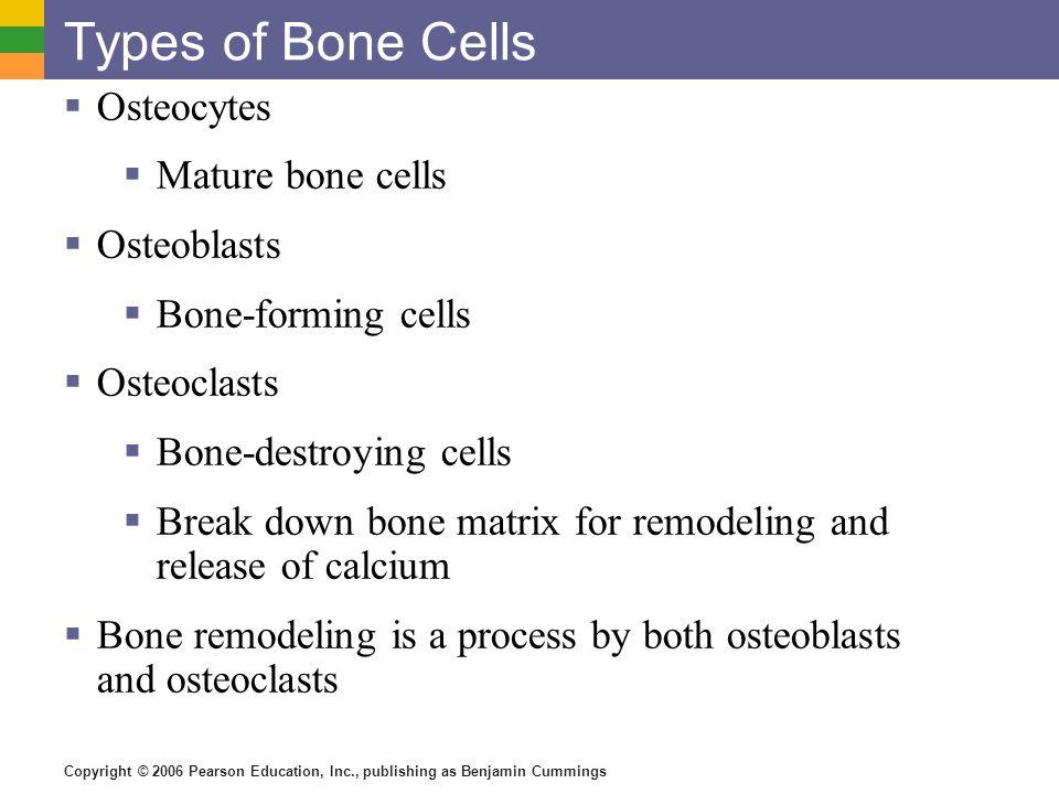 Copyright © 2006 Pearson Education, Inc., publishing as Benjamin Cummings Types of Bone Cells Osteocytes Mature bone cells Osteoblasts Bone-forming ce
