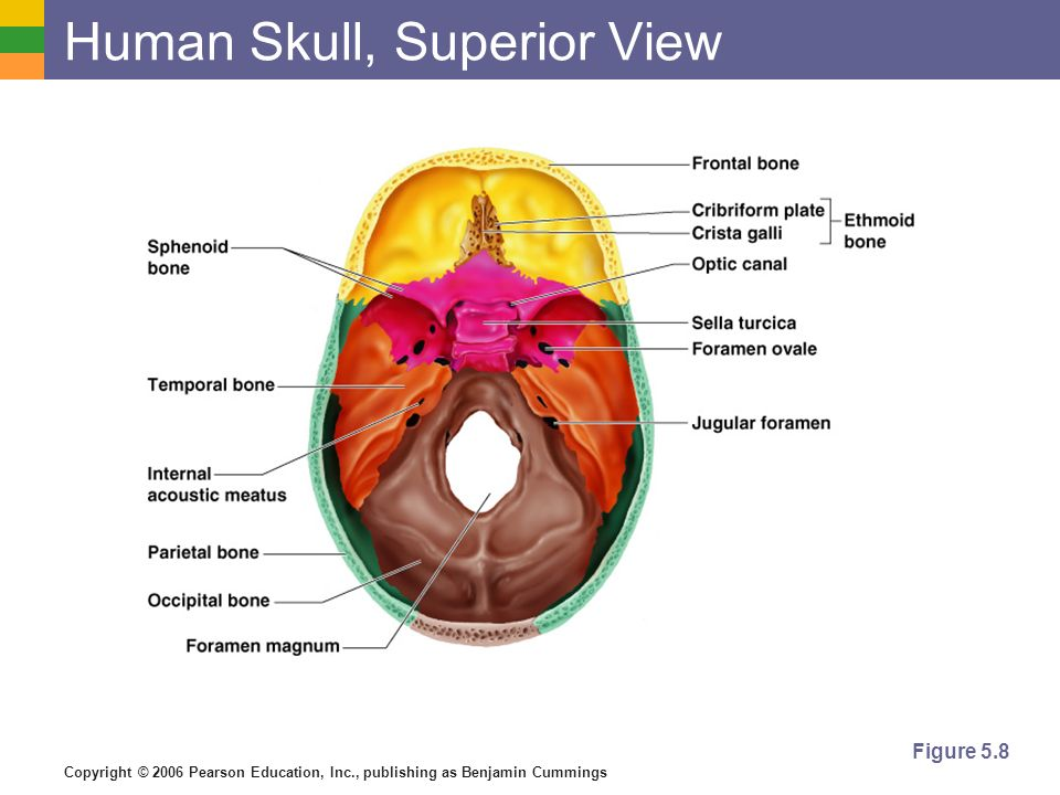 Copyright © 2006 Pearson Education, Inc., publishing as Benjamin Cummings Human Skull, Superior View Figure 5.8