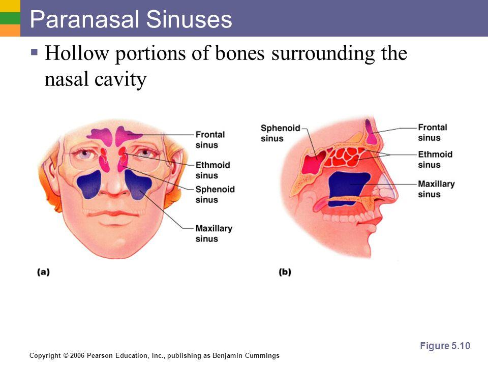 Copyright © 2006 Pearson Education, Inc., publishing as Benjamin Cummings Paranasal Sinuses Hollow portions of bones surrounding the nasal cavity Figu