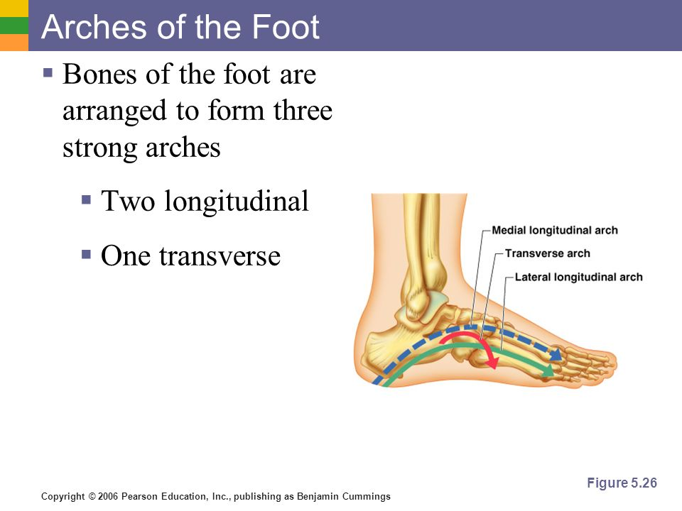 Copyright © 2006 Pearson Education, Inc., publishing as Benjamin Cummings Arches of the Foot Bones of the foot are arranged to form three strong arche