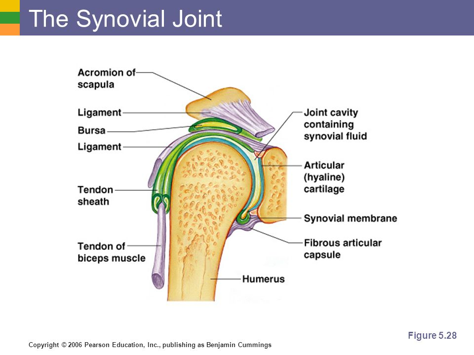 Copyright © 2006 Pearson Education, Inc., publishing as Benjamin Cummings The Synovial Joint Figure 5.28