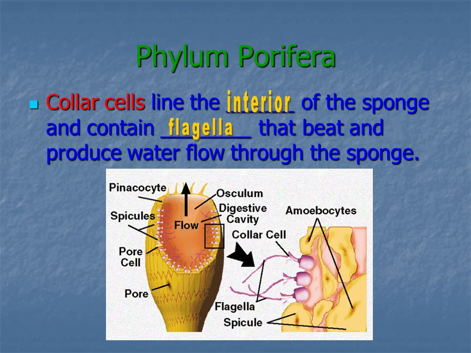 Phylum Porifera Collar cells line the ______ of the sponge and contain ________ that beat and produce water flow through the sponge. Collar cells line