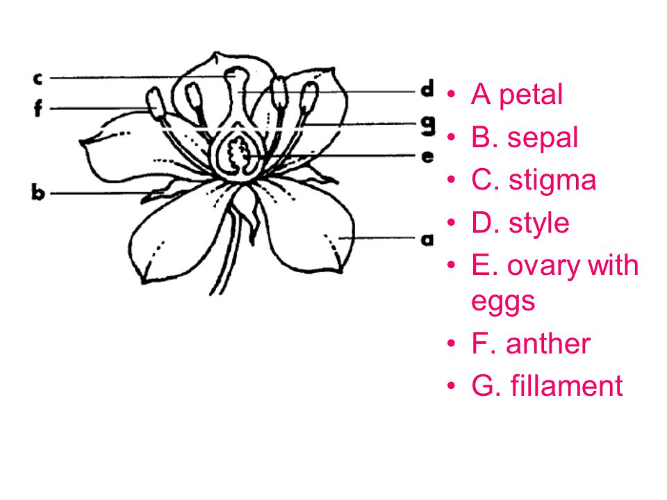 A petal B. sepal C. stigma D. style E. ovary with eggs F. anther G. fillament