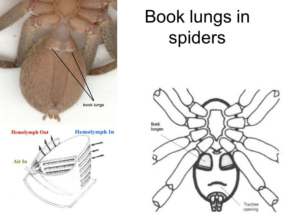 Book lungs in spiders
