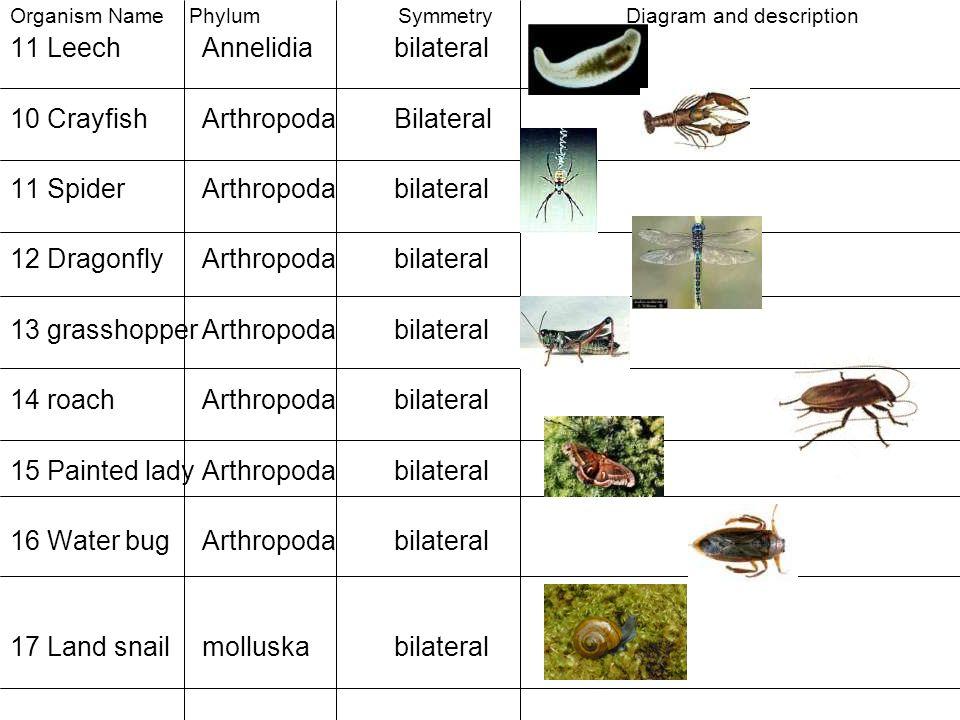Organism Name Phylum Symmetry Diagram and description 11 LeechAnnelidiabilateral 10 CrayfishArthropodaBilateral 11 SpiderArthropodabilateral 12 Dragon