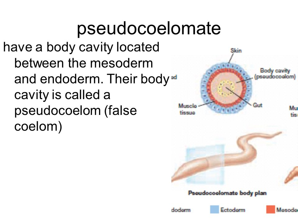 pseudocoelomate have a body cavity located between the mesoderm and endoderm. Their body cavity is called a pseudocoelom (false coelom)