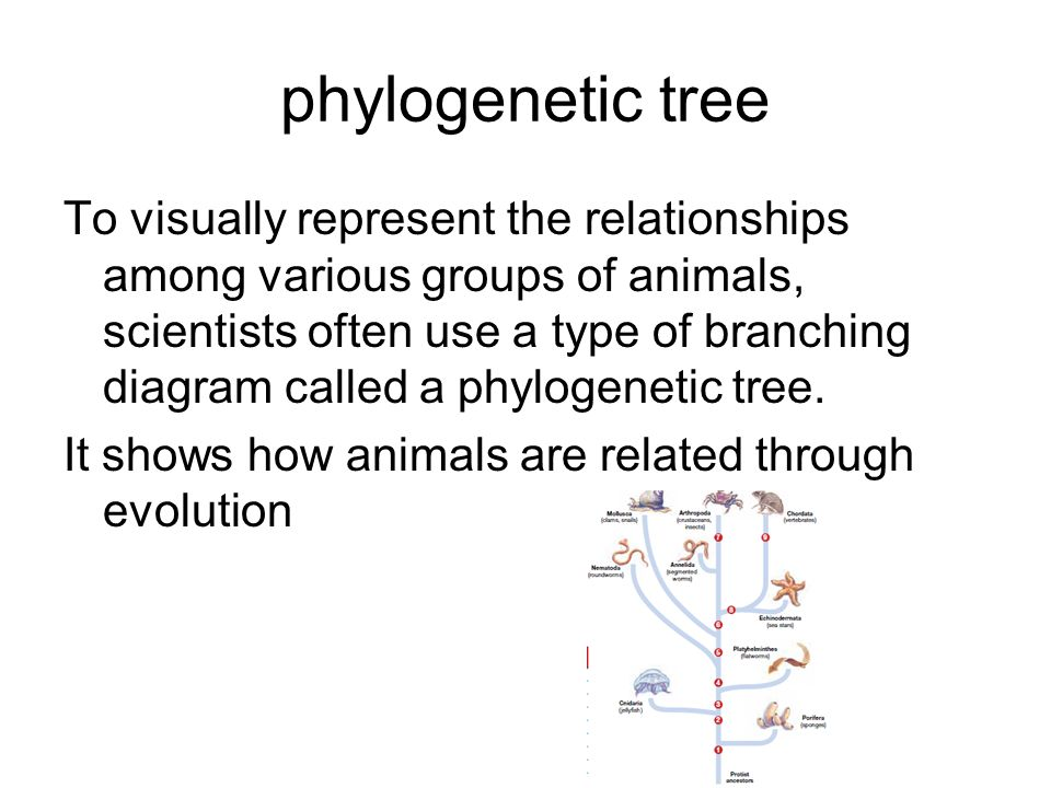 phylogenetic tree To visually represent the relationships among various groups of animals, scientists often use a type of branching diagram called a p
