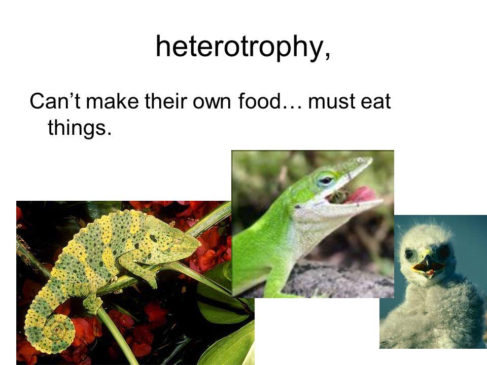 heterotrophy, Cant make their own food… must eat things.