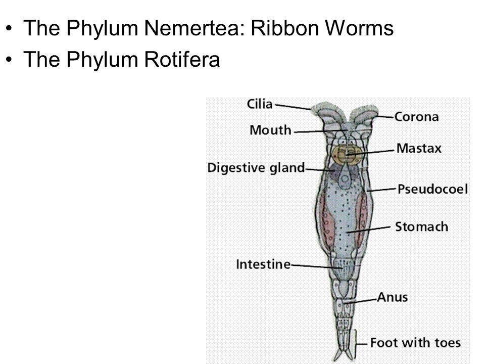 The Phylum Nemertea: Ribbon Worms The Phylum Rotifera