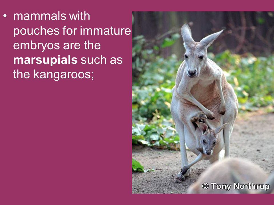 mammals with pouches for immature embryos are the marsupials such as the kangaroos;