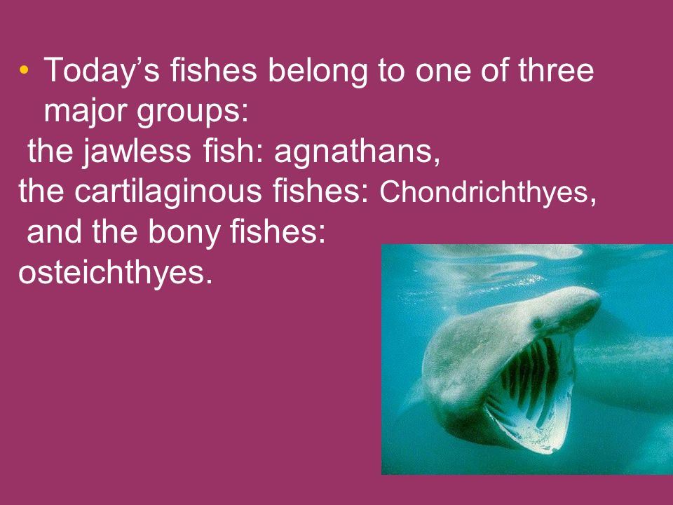 Todays fishes belong to one of three major groups: the jawless fish: agnathans, the cartilaginous fishes: Chondrichthyes, and the bony fishes: osteich