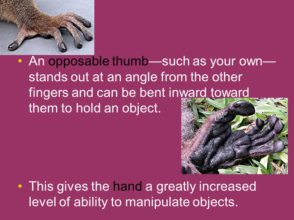 An opposable thumbsuch as your own stands out at an angle from the other fingers and can be bent inward toward them to hold an object. This gives the