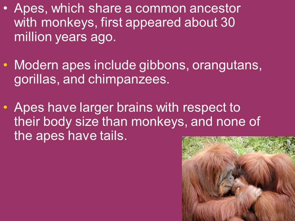 Apes, which share a common ancestor with monkeys, first appeared about 30 million years ago. Modern apes include gibbons, orangutans, gorillas, and ch