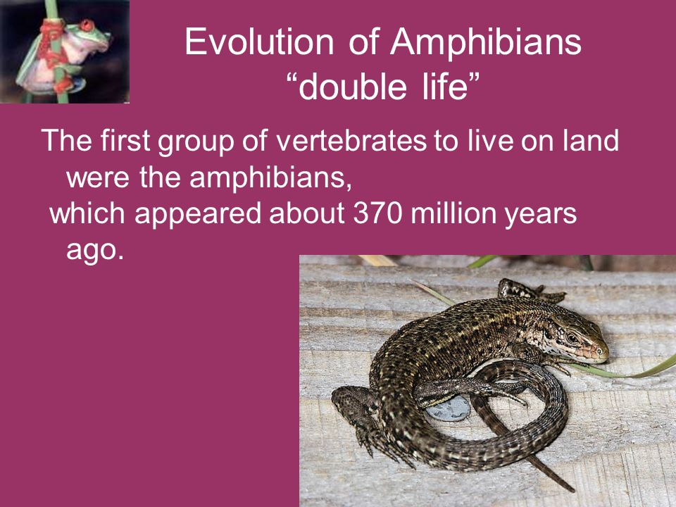 Evolution of Amphibians double life The first group of vertebrates to live on land were the amphibians, which appeared about 370 million years ago.