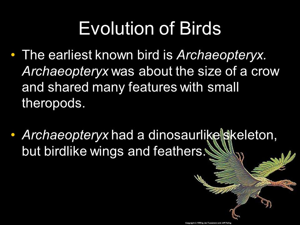 Evolution of Birds The earliest known bird is Archaeopteryx. Archaeopteryx was about the size of a crow and shared many features with small theropods.