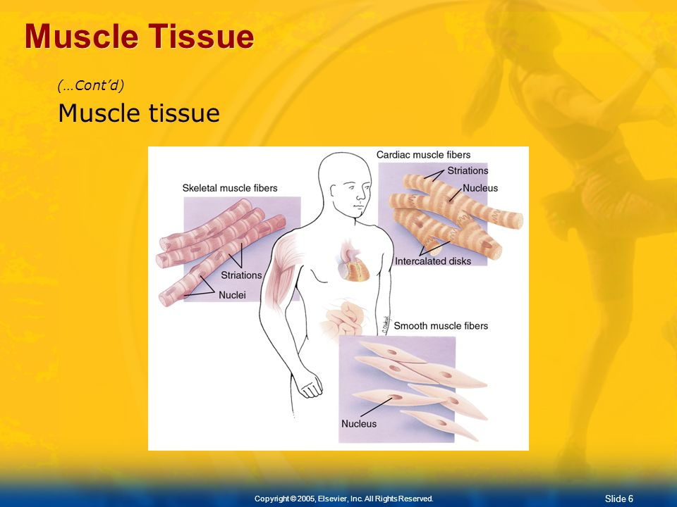 Slide 6 Copyright © 2005, Elsevier, Inc. All Rights Reserved. Muscle Tissue (…Contd) Muscle tissue