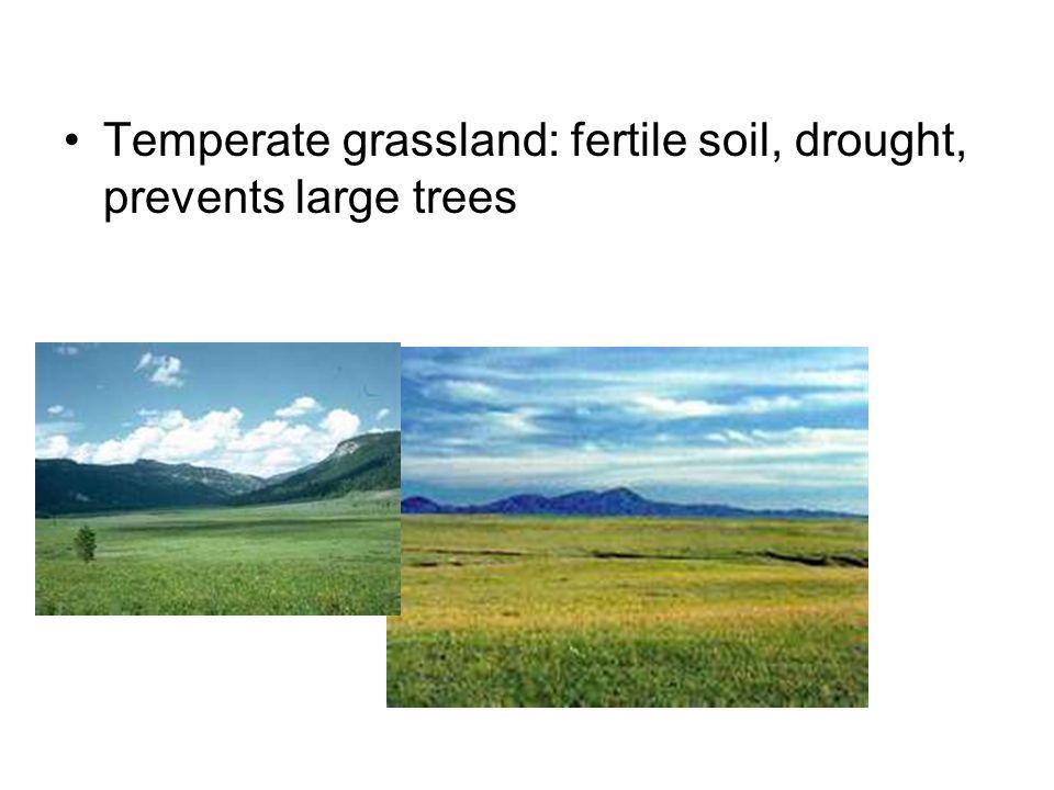 Temperate grassland: fertile soil, drought, prevents large trees