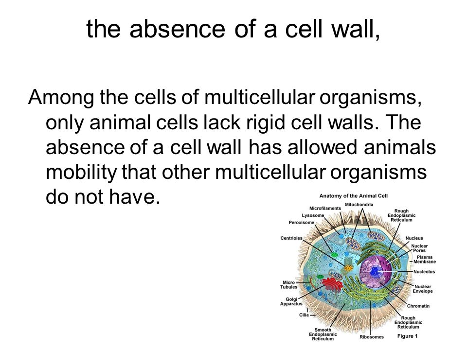 the absence of a cell wall, Among the cells of multicellular organisms, only animal cells lack rigid cell walls. The absence of a cell wall has allowe