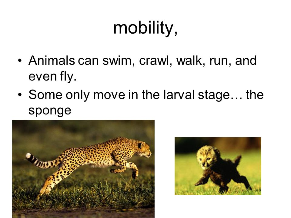 mobility, Animals can swim, crawl, walk, run, and even fly. Some only move in the larval stage… the sponge