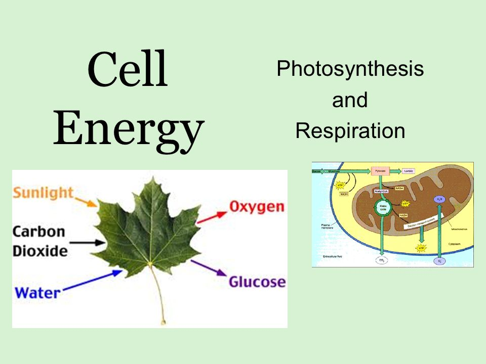 Cell Energy Photosynthesis and Respiration