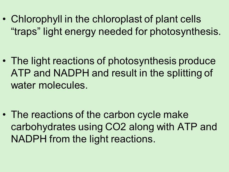 Chlorophyll in the chloroplast of plant cells traps light energy needed for photosynthesis. The light reactions of photosynthesis produce ATP and NADP