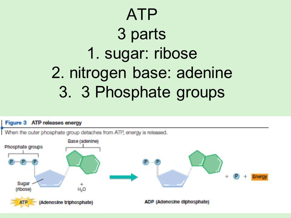ATP 3 parts 1. sugar: ribose 2. nitrogen base: adenine 3. 3 Phosphate groups