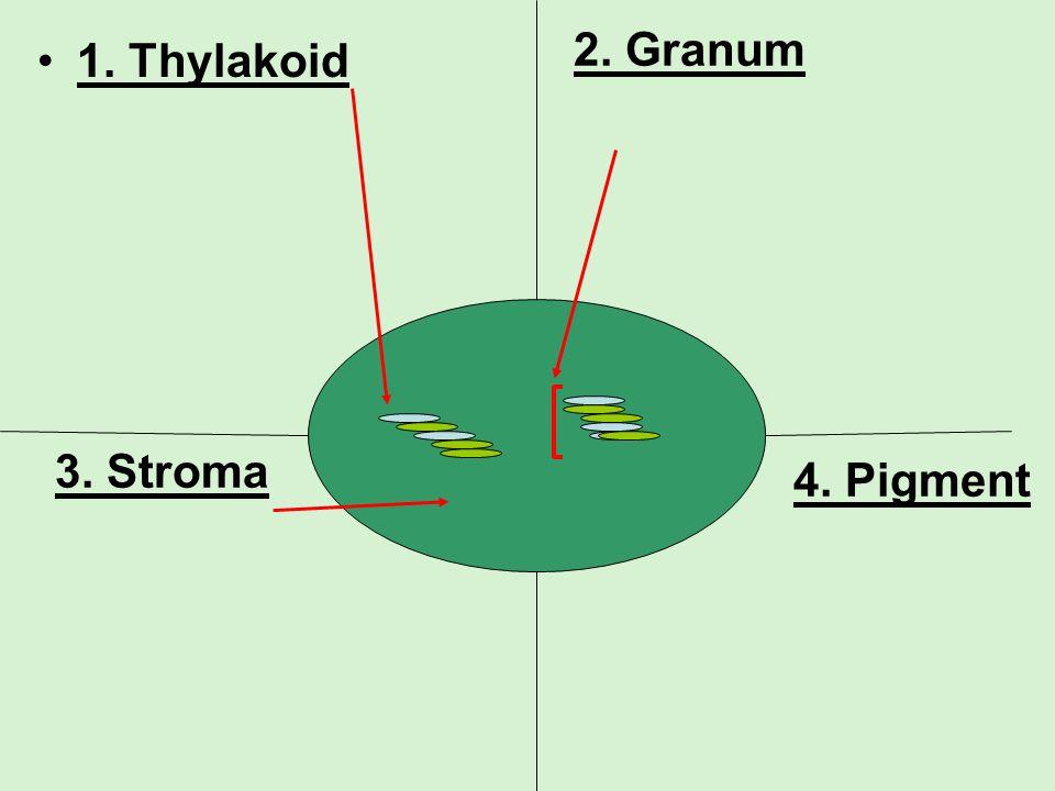 1. Thylakoid 2. Granum 3. Stroma 4. Pigment