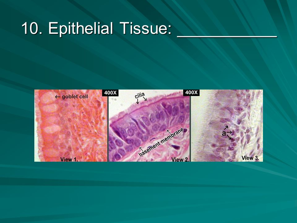9. Epithelial Tissue: ____________