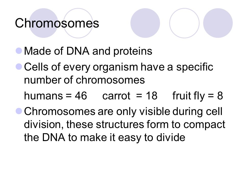 Chromosome Structure Each chromosome consists of 2 identical sister chromatids When the cell divides, the sister chromatids separate from each other.