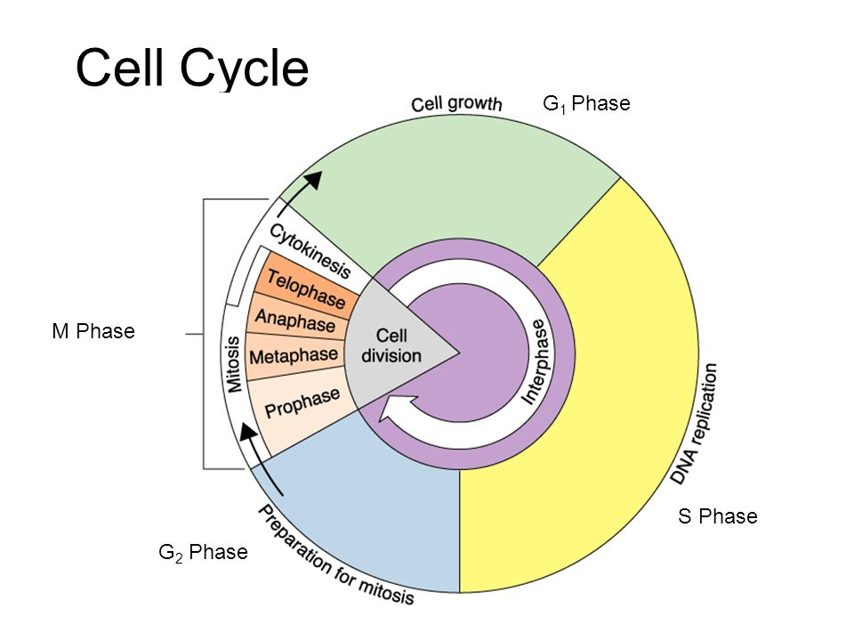 Interphase Cell spends more time in interphase than M phase 1.