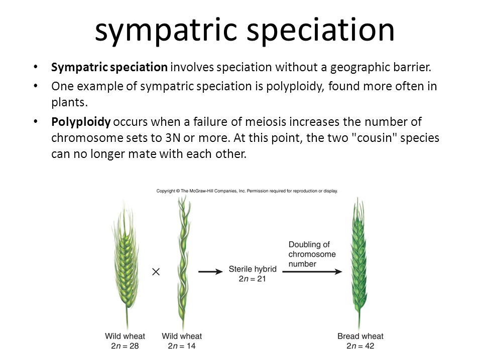 sympatric speciation Sympatric speciation involves speciation without a geographic barrier. One example of sympatric speciation is polyploidy, found m