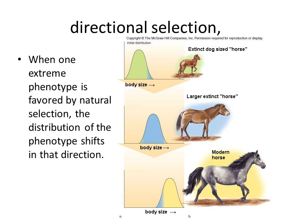 directional selection, When one extreme phenotype is favored by natural selection, the distribution of the phenotype shifts in that direction.