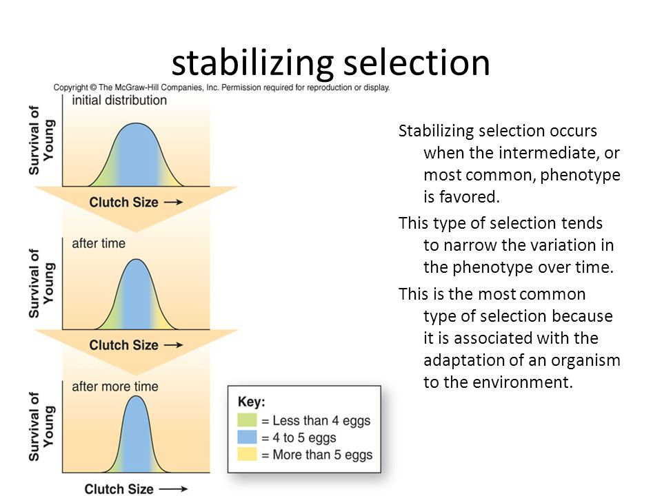stabilizing selection Stabilizing selection occurs when the intermediate, or most common, phenotype is favored. This type of selection tends to narrow