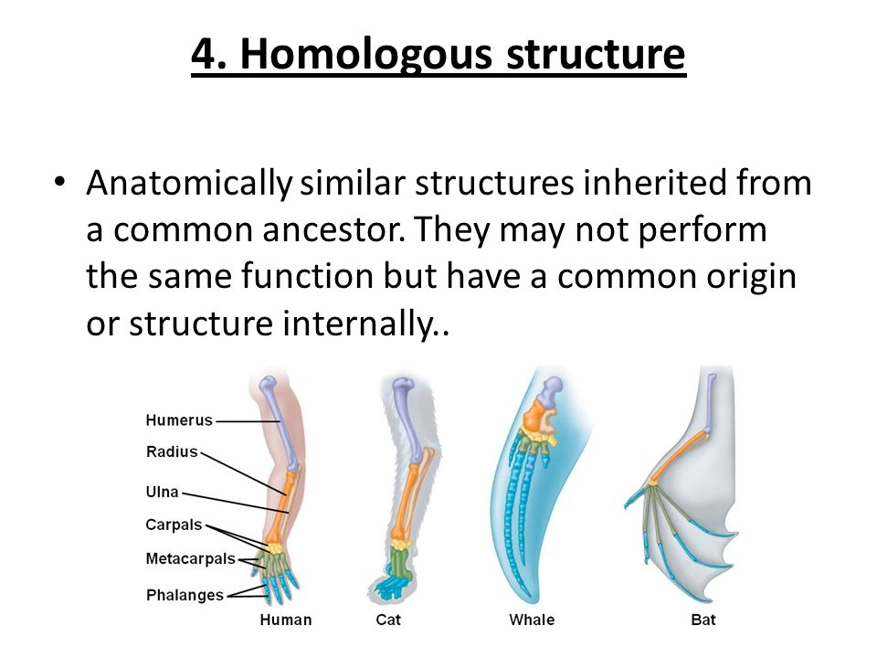 4. Homologous structure Anatomically similar structures inherited from a common ancestor. They may not perform the same function but have a common ori