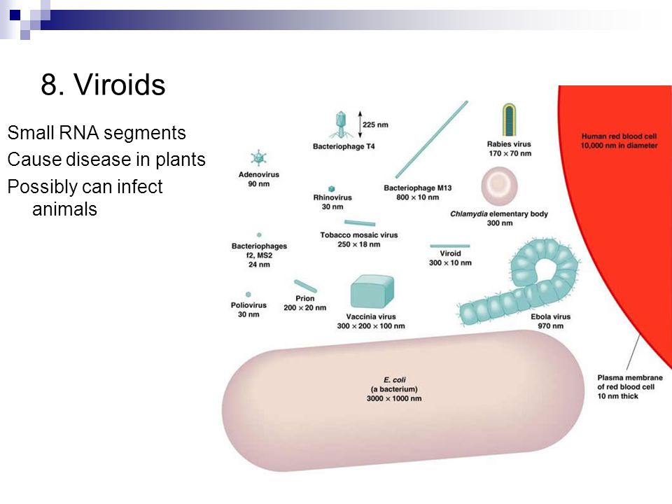 8. Viroids Small RNA segments Cause disease in plants Possibly can infect animals