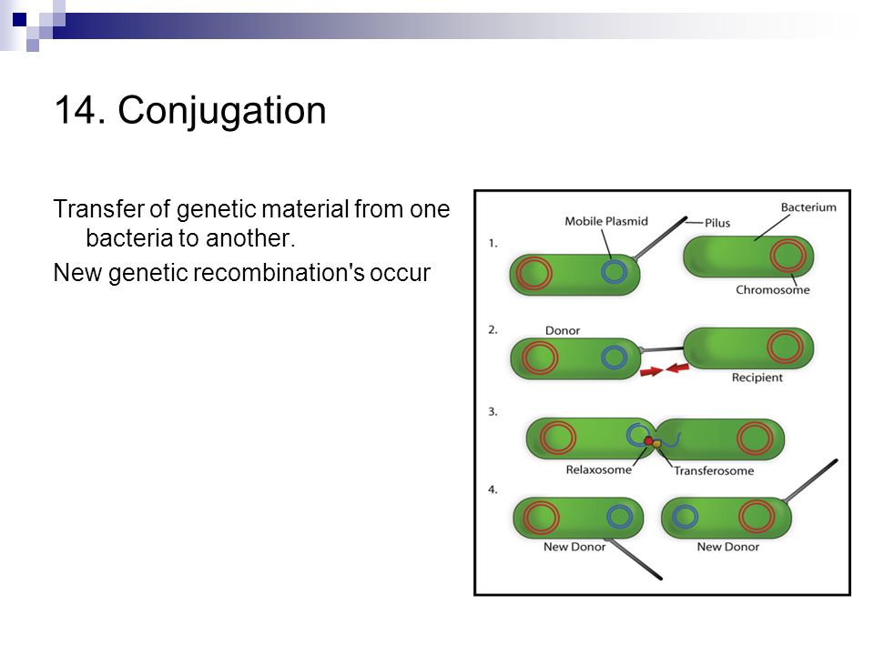 14. Conjugation Transfer of genetic material from one bacteria to another.