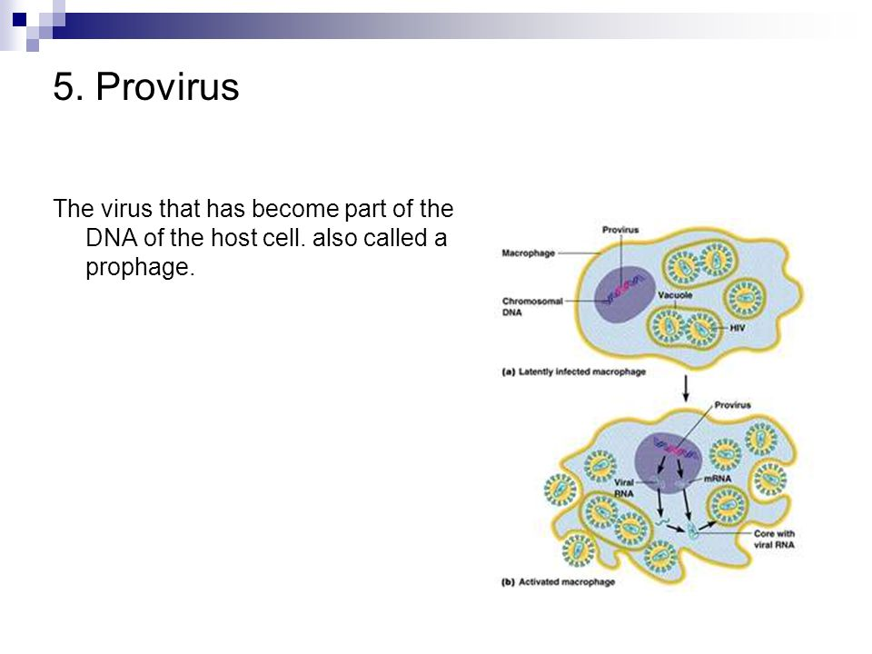 5. Provirus The virus that has become part of the DNA of the host cell. also called a prophage.